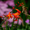 Crocosmia (J.E. Planchon, 1851; pronounced /krɵˈkɒzmiə/)[1] is a small genus of perennial species in the iris family Iridaceae, native to the grasslands of Cape Floristic Region, South Africa