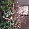 Viburnum Charles Lamont, This plant is a lovely addition to the winter border as it is covered in strongly fragrant tubular flowers in shades of rich pink