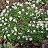 Pritzelago alpine (syn. Hutchinsia alpina)