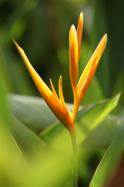 Fiji, Flower