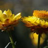 Strawflower<br /> Common Name: Strawflower, Everlasting Flower, Yellow Paper Flower<br /> Botanical Name: Helichrysum bracteatum (hel-i-CRY-sum brac-te-A-tum)