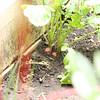 Yay radishes!