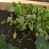 Not-doing-too-well beet transplants (and some beet seedlings below).