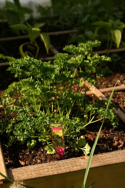IMG_9346 parsley