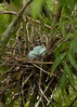 Tri-Color Heron nest with eggs.