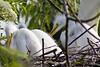 White egret chicks....relaxing in the sun.