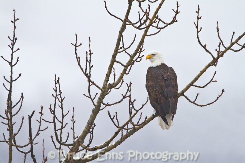 This handsome eagle is the one of three that has been using the large cottonwood in the corner of our yard as a perch to look out over the Columbia River. The other two are 1 and 3 year old juveniles.