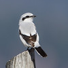 Northern Shrike lookback pose - Castlegar airport, Easter April 8, 2012