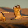 A pair of Sandhill Cranes flies past in formation in the early morning light