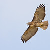 Red-tailed Hawk, Tijuana River Estuary, San Diego, California