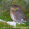 Northern Pygmy Owl on the prowl in our backyard in Castlegar, January 2011