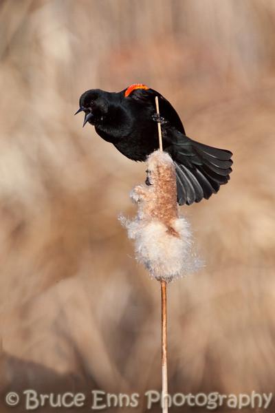 Red-winged Blackbird, Brandt's Marsh, Kelowna waterfront