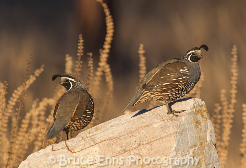 California Quail males on the lookout rock - Kelowna Thanksgiving 2012