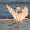 White morph Reddish Egret, Fort De Soto Park, Florida