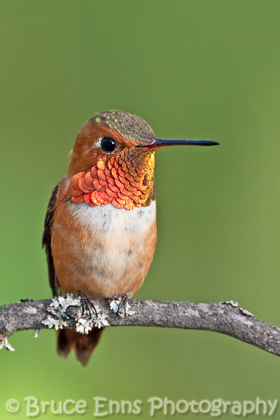 The dominant male hummingbird in my backyard this year (2009).  Rufous Hummingbird