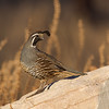 Male California Quail keeping a lookout - Kelowna Thanksgiving 2012