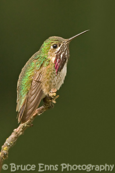 Calliope Hummingbird, male, North America's smallest hummingbird, Castlegar, BC, 2007