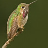 Calliope Hummingbird, male, North America's smallest hummingbird, Castlegar, BC, 2007