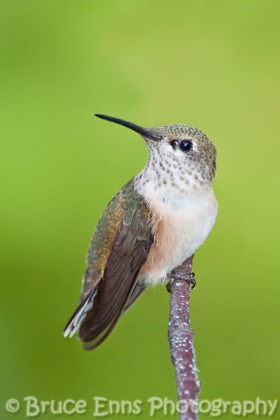 Sub-adult female Rufous Hummingbird, Castlegar, BC