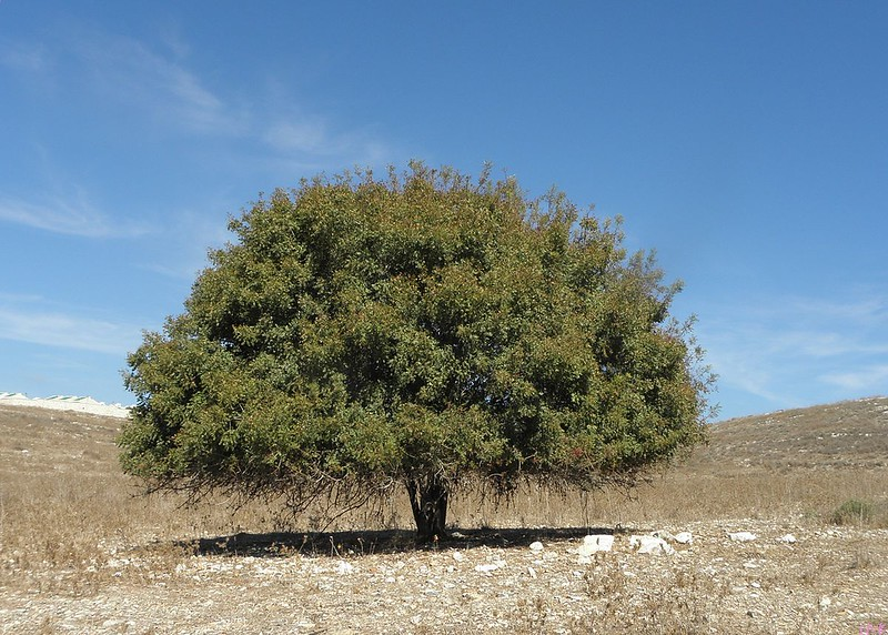 Tree that was most likely the one referred to in Genesis 18, a Pistacia palaestina