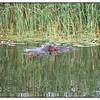 Hippo Dec 06