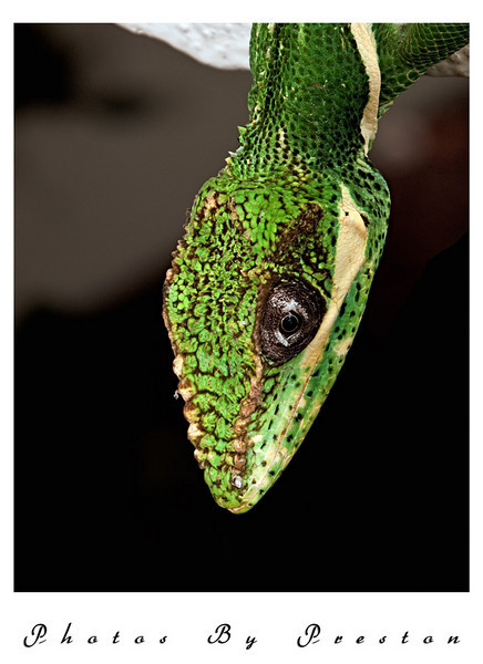 A Knight Anole