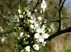 Blackthorn  April 2009