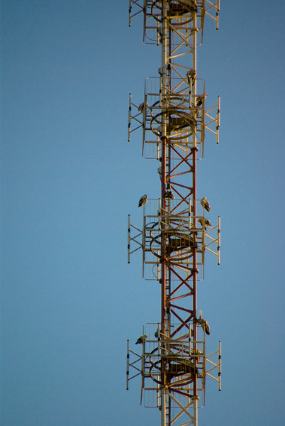 If you look closer, you will see 12 falcons in this radio mast.