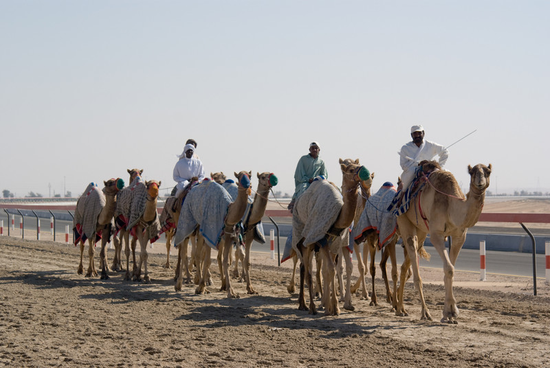Camels being warmed up, preparing for a camel race later in the day.