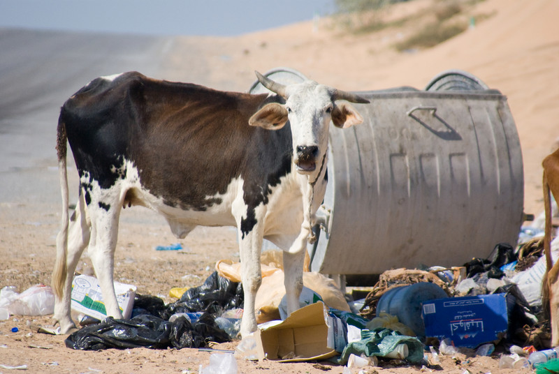 An Arabian cow digging through some of the carelessly strewn about garbage, a phenomenon that is becoming more and more common in the rural areas of the UAE.