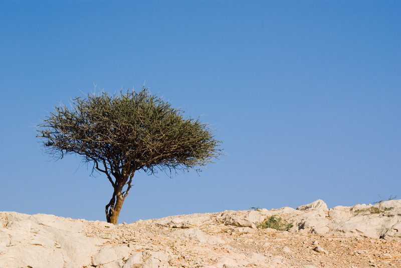 A lone tree at the top of a mountain in Ras al-Khaimah, UAE.