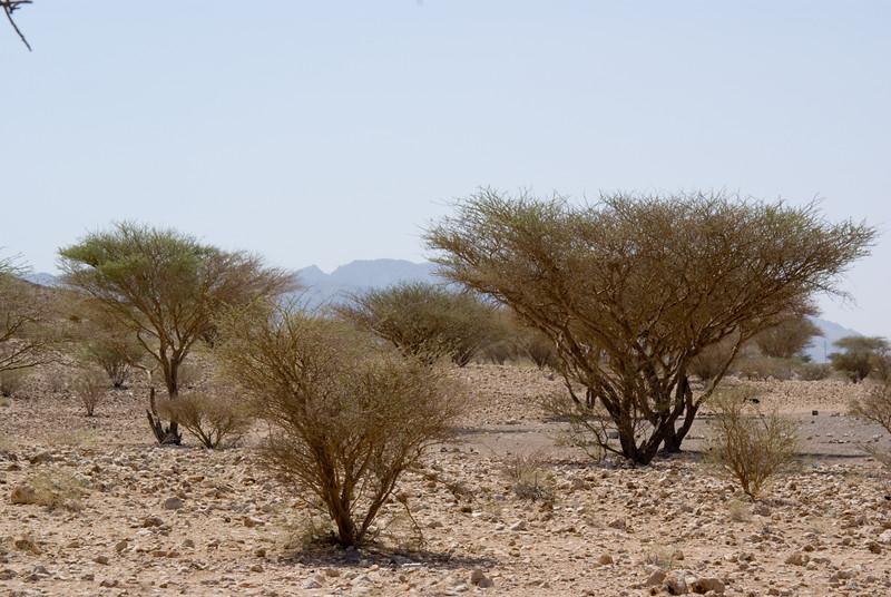 Some trees in the desert around Hatta.