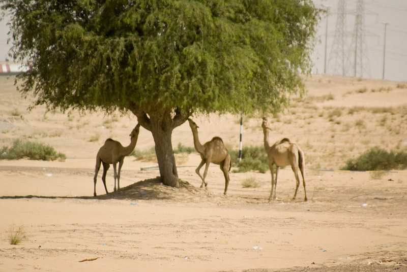 Camels having lunch.