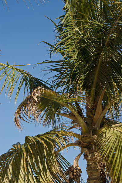 Palm trees and dates