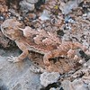"<a href=""http://en.wikipedia.org/wiki/Horned_lizard"">http://en.wikipedia.org/wiki/Horned_lizard</a> for more information"
