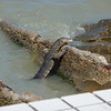 Who knew monitor lizards are sea faring ?!?!  This one was about five feet long, nose to tail tip.