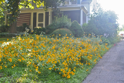 Daisies on Front Lawn 2013