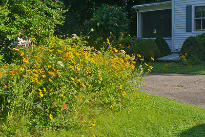 Black-Eyed Susan on lawn on either side of drive way.