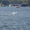 A swan takes flight
