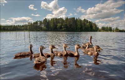 This year's ducks, Varkaus, Finland.