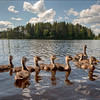 This year's ducks, Varkaus, Finland.