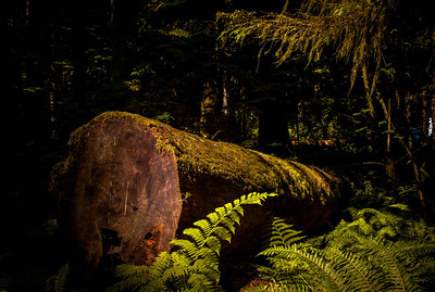 Huge trunk in old-grown forest of MacMillan Park on Vancouver Island, British Columbia, Canada.