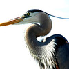 top of the world<br /> great blue heron