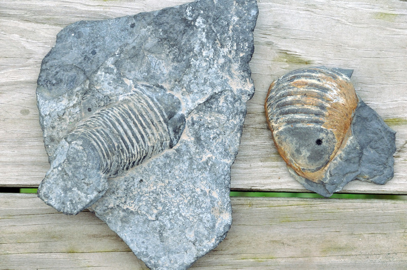 Locally found trilobites from Gilboa Museum