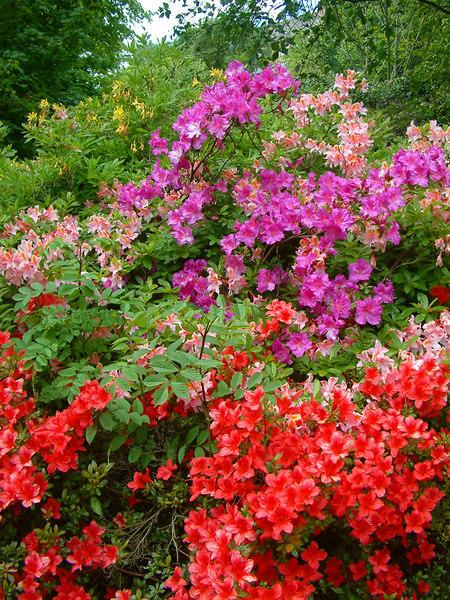 Rhododendrons at Kelvingrove Park