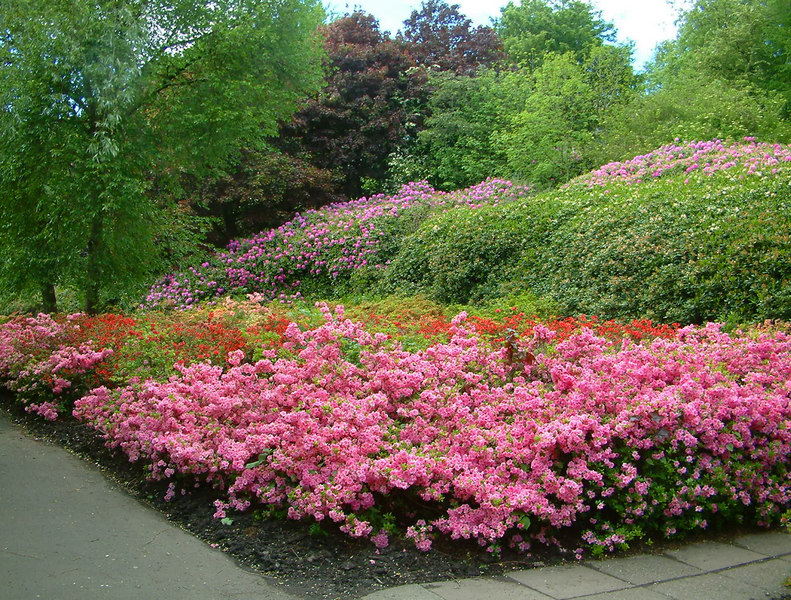 Rhododendrons at Kelvingrove Park