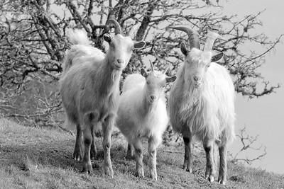 feral goats of Saturna Island