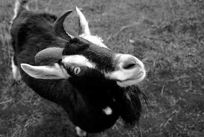 milli the kid goat
