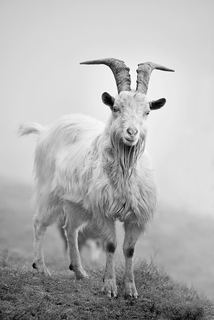 saturna island feral goats