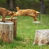Jumping Goat
